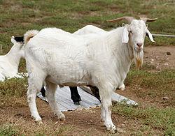 250px-Billy_goat